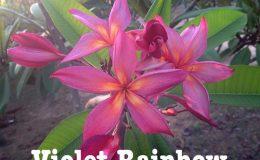 plumeria-violet-rainbow-50