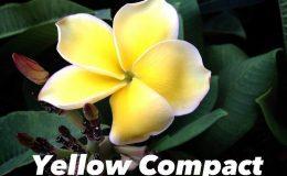 plumeria-yellow-compact-35