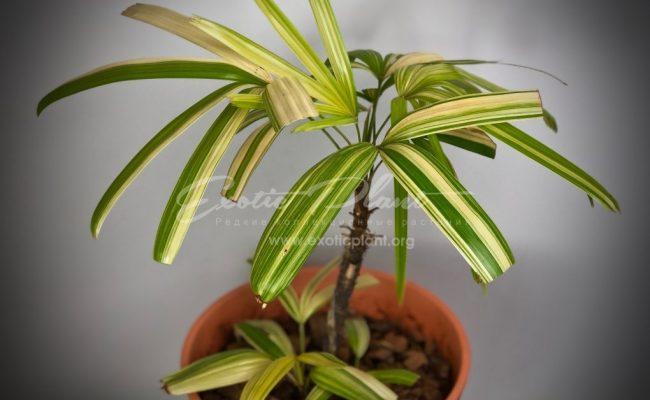 rhapis excelsa variegated