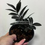 zamioculcas-black-leave-150×150-2