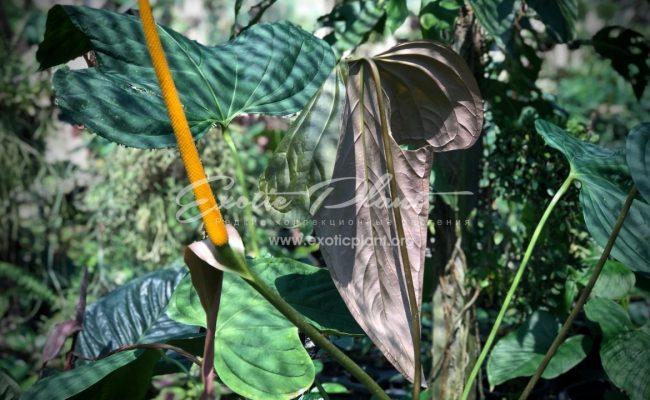 антуриум sp Mikki Mause giant leaves (K2) 100