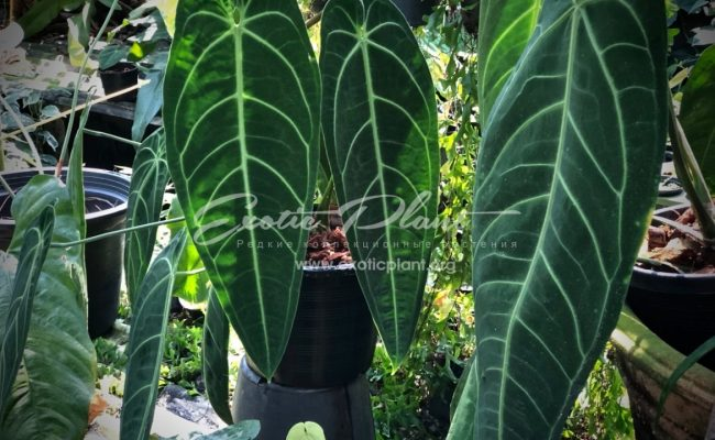 Anthurium 'Queen Anthurium' syn Anthurium warocqueanum 100