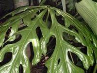Anthurium clavigerum mature