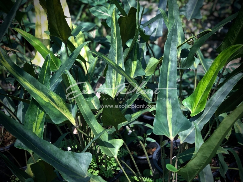 Anthurium denudatum variegated / антуриум денудатум вариегатный 600