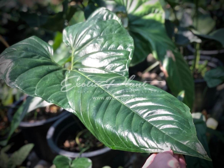 Anthurium sp (K5) 150