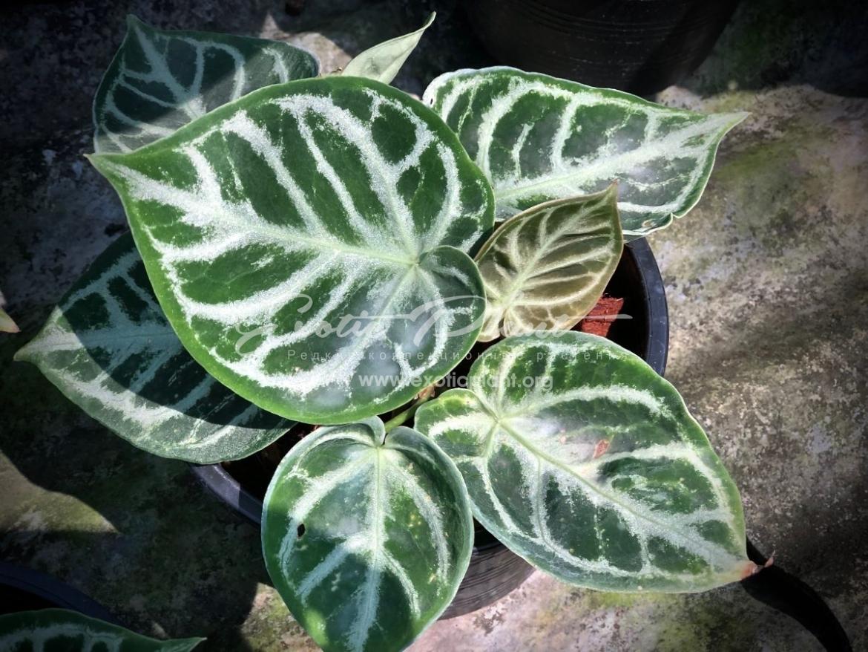 Anthurium sp (K6) = anthurium hybrid ex China 150