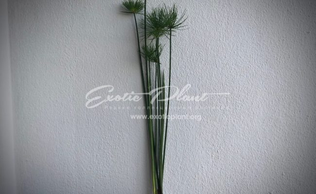 Cyperus papyrus Little Tut 20