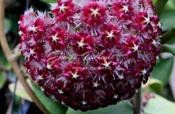Hoya elmeri syn hoya mindorensis red 20