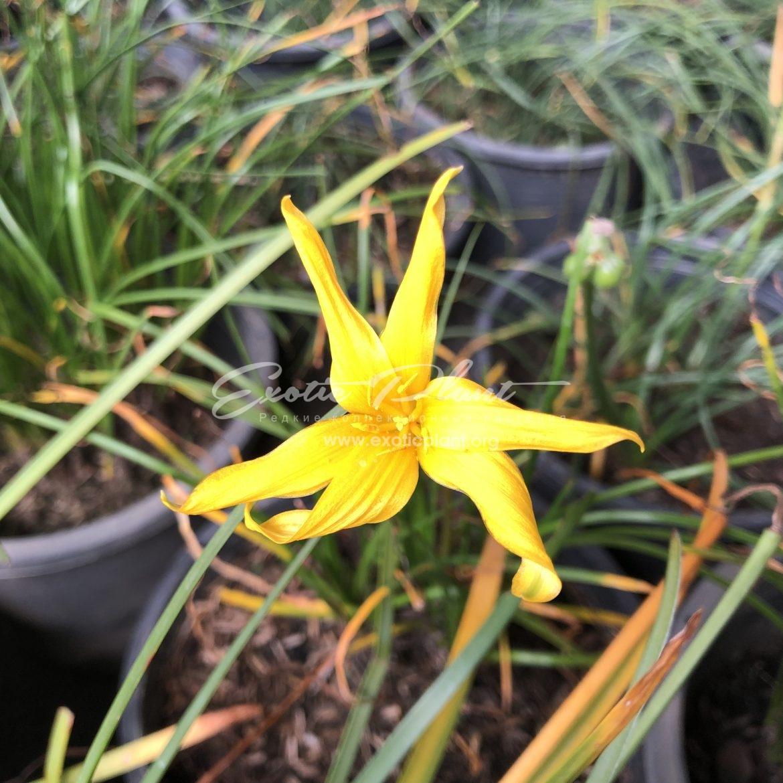 Zephyranthes cv Favissima / зефирантес Фависсима 20