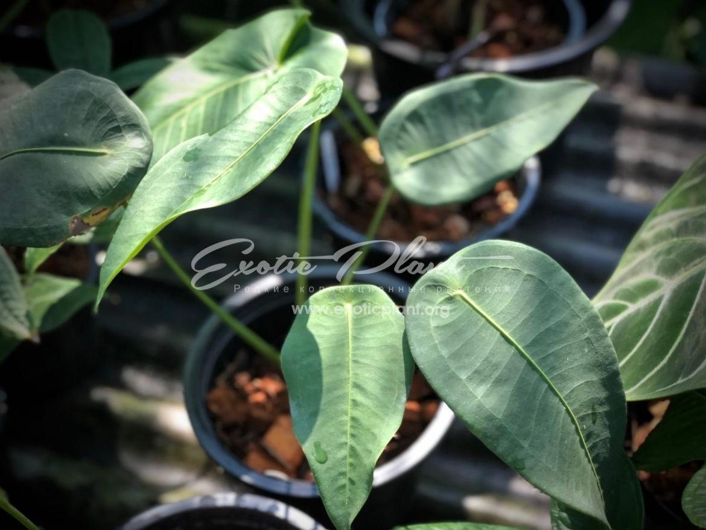 anthurium peltigerum / антуриум пельтигерум