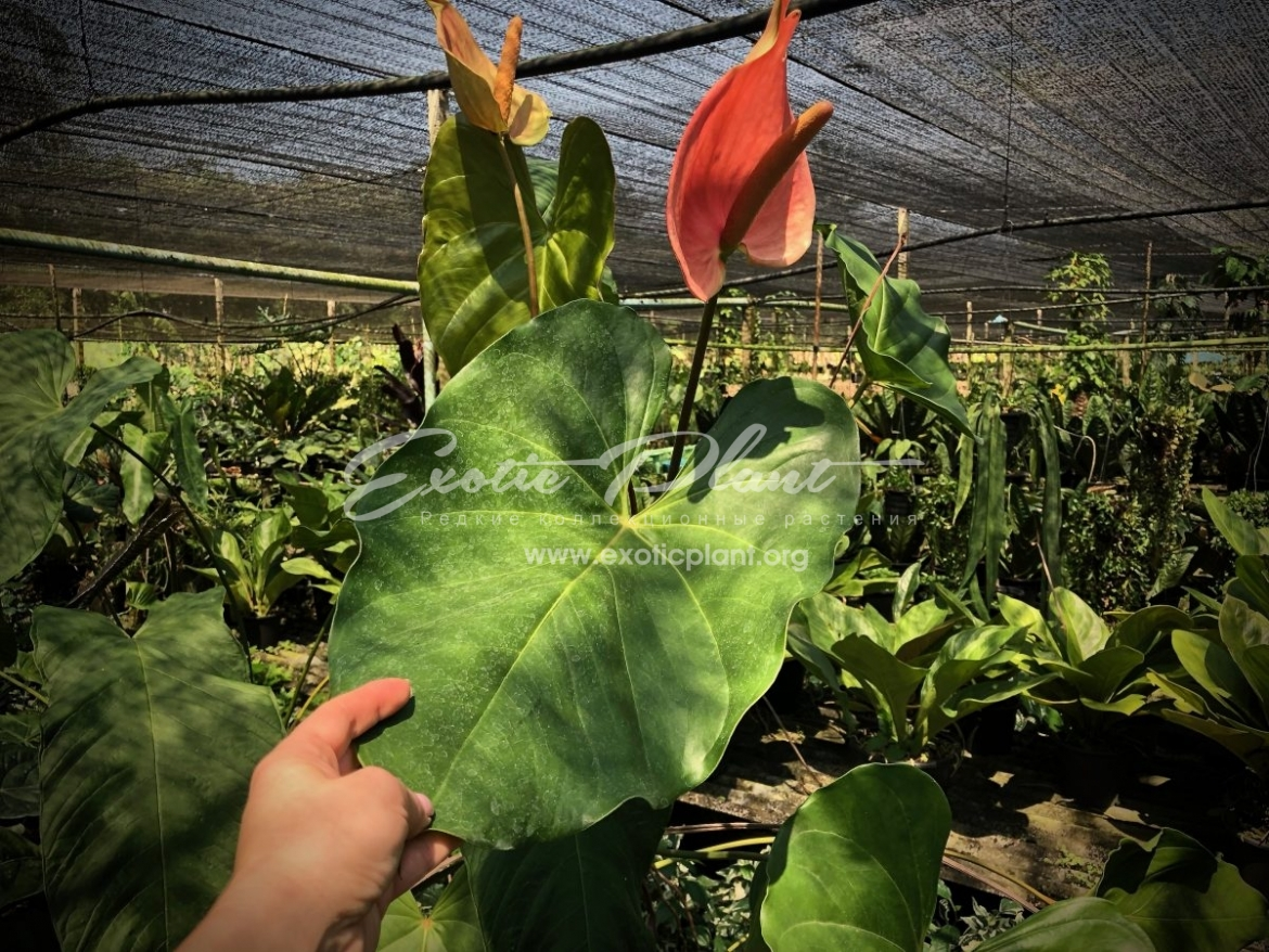 anthurium sp Giant (K1) / антуриум сп Гигант (К1) 60