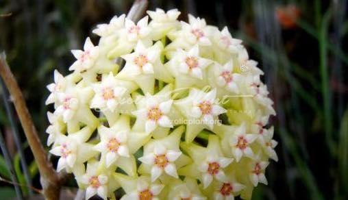 Hoya acuta (1) 7