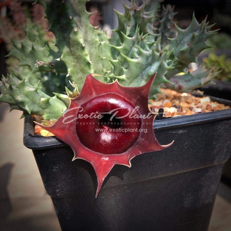 """huernia cv Korat Crimson / гуэрния """"Малиновый корат""""  25"""