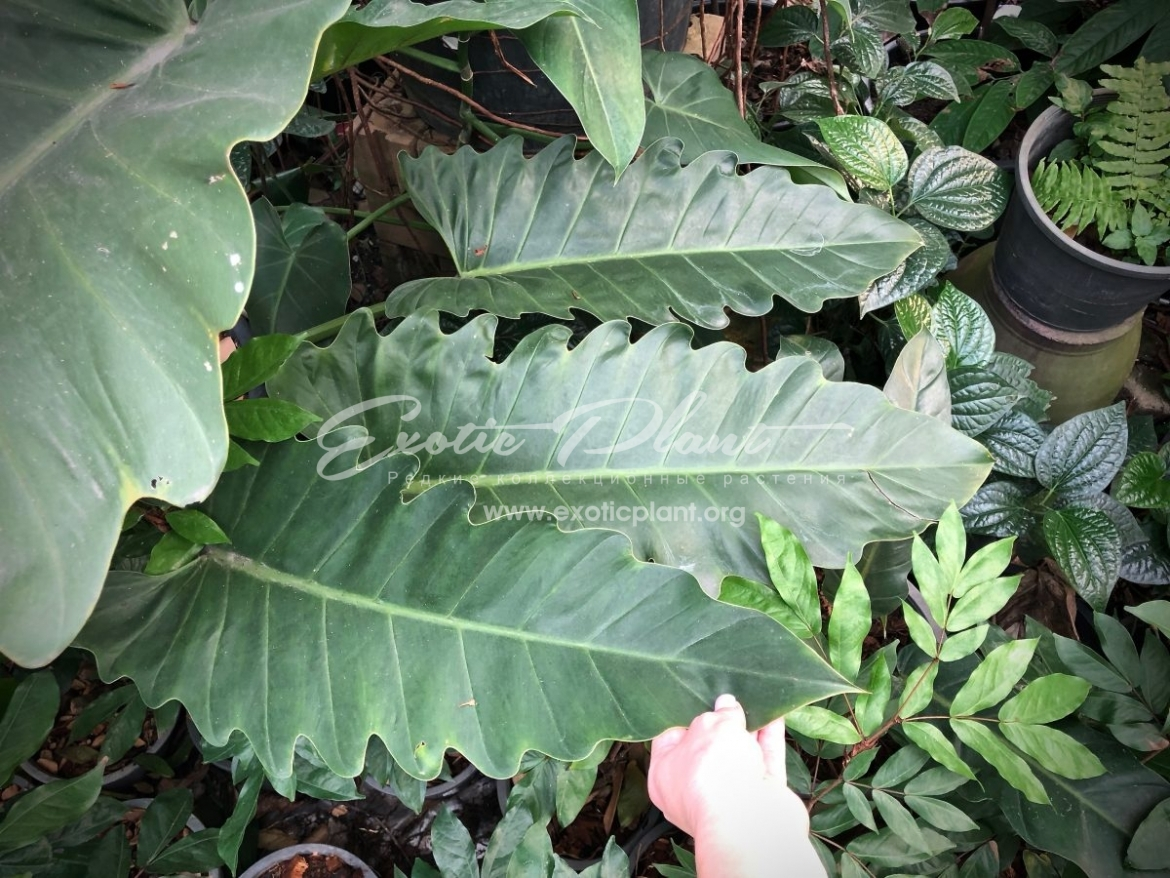 philodendron Hercules / филодендрон Геркулес 45