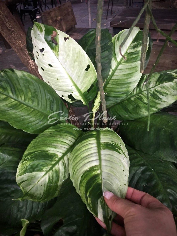 "spatithyllum hybrid South Thailand white splash = spathiphyllum Old Ghost / спатифиллум ""Олд Гост"", ""Старое привидение"" 70-100"