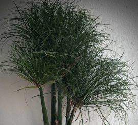 Циперусы и другие болотные растения