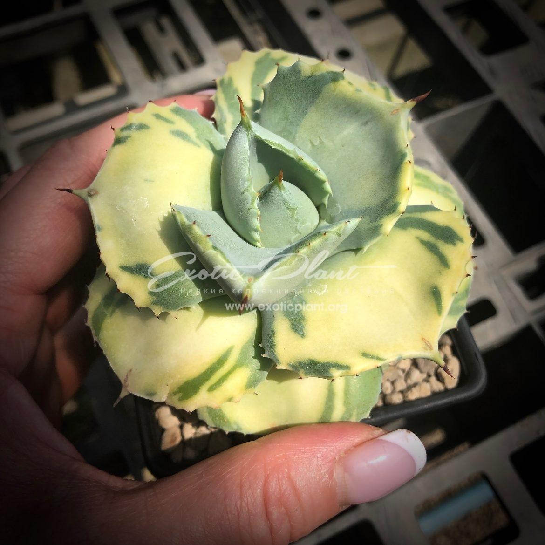 agave isthmensis Cream Butter / агава истменсис Крим Баттер (Сливочное масло) 350