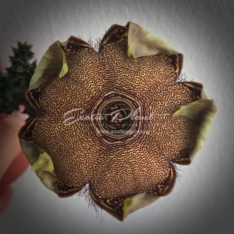 edithcolea grandis / эдитколея грандис 45