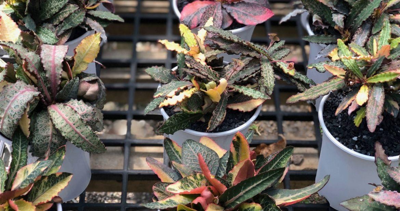 Как повлиять на яркость вариегатных растений в домашних условиях и вернуть вариегатность позеленевшим растениям
