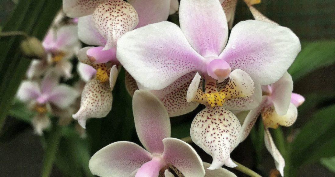 Орхидея Бабочка или Мотылек – Фаленопсис (Phalaenopsis ), виды, содержание