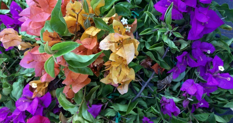 ИЮНЬ – Растение месяца – Бугенвиллея
