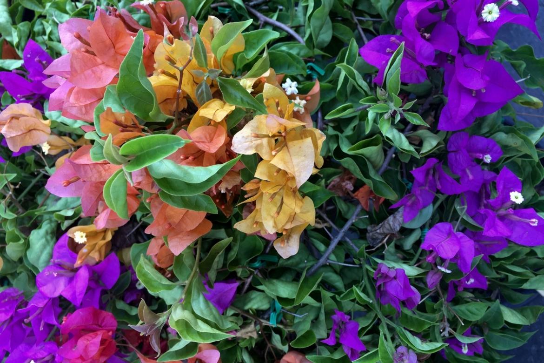 Почему не цветет бугенвиллея? Приручаем своенравную красавицу.