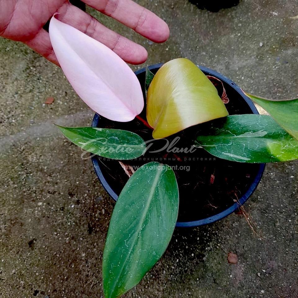 philodendron Pink Congo / филодендрон Пинк Конго