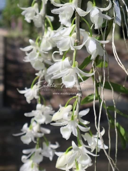 201 Dendrobium anosmum (alba)(JQ-206) BS 45