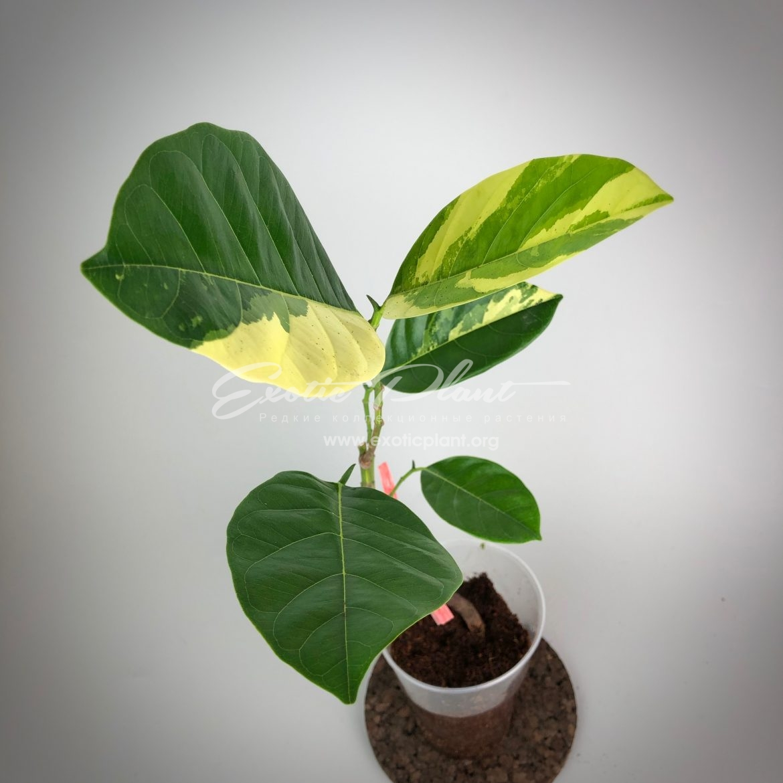 Artocarpus heterophyllus variegated ( jackfruit) / Артокарпус хетерофилус вариегатный (Джекфрут)