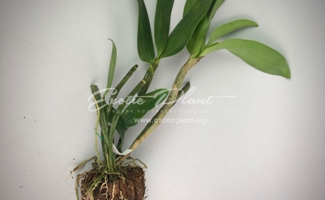 Dendrobium densiflorum Fragrant BS