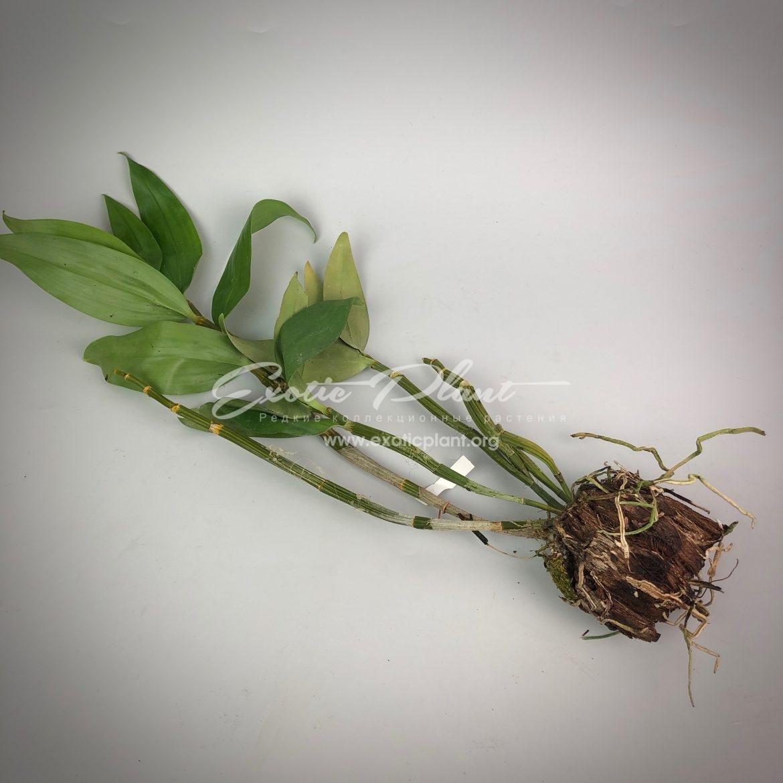 298 Dendrobium thyrsiflorum BS 40-135