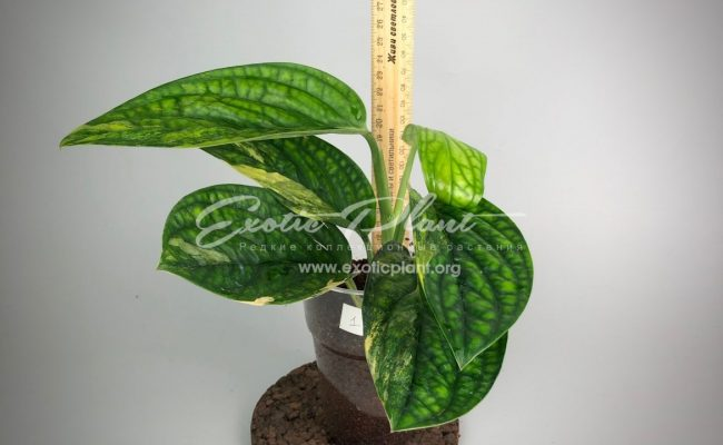 Monstera karstenianum variegated#1 50-100