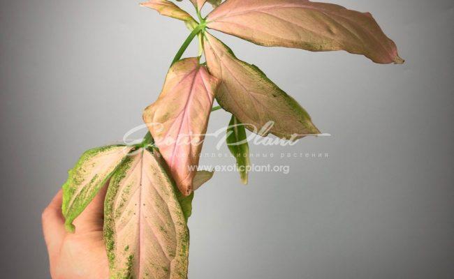 Syngonium Regina Red 7-9