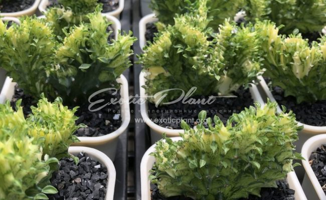 euphorbia lactea green and gold cristated 80