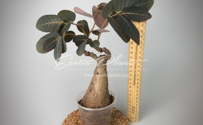 philanthus mirabilis 35