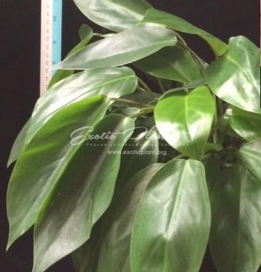 Philodendron sp (T39) / филодендрон сп (Т39) 30