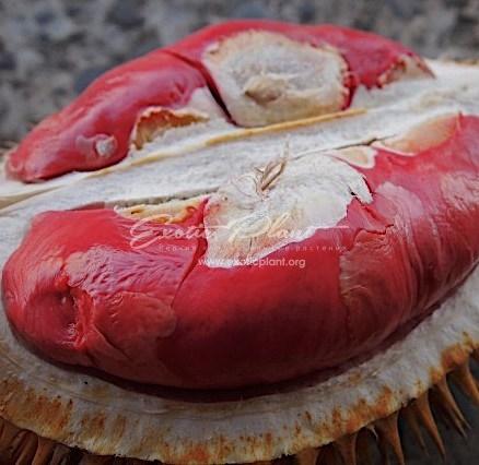 Durio zibethinus Red Durian  / Дурио зибетинус (красная мякоть) 60