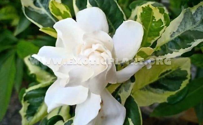 Gardenia angusta variegated flower