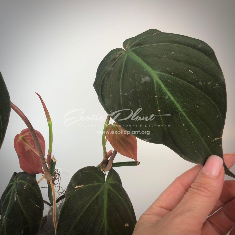 Philodendron Lupinum / филодендрон люпинум 45-60