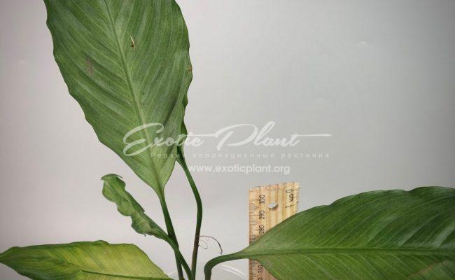 Spathiphyllum blandum Spilt Milk#1 25