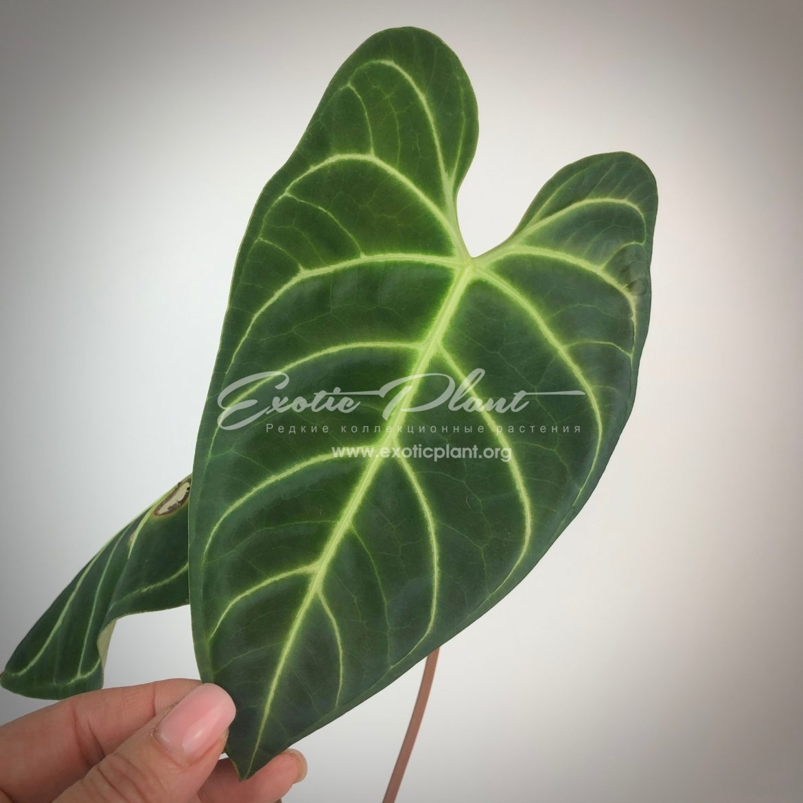 anthurium regale / антуриум регале
