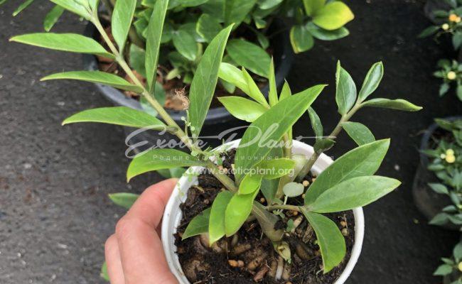 Zamioculcas zamifolia dwarf form 10