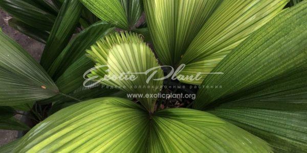 licuala cordata variegated 170