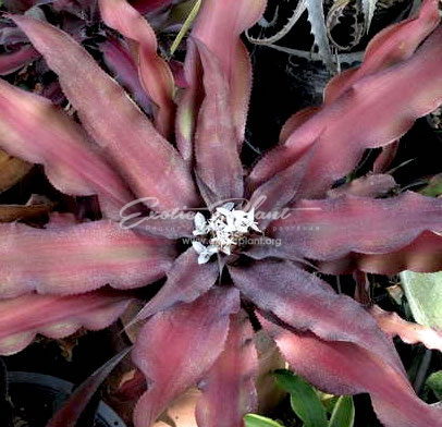 Cryptanthus Soerries 16