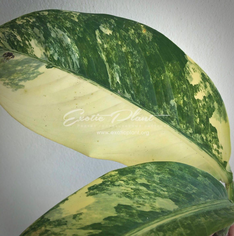 Dieffenbachia Yellow variegated / диффенбахия Еллоу вариегатная, желтая вариегатность 30