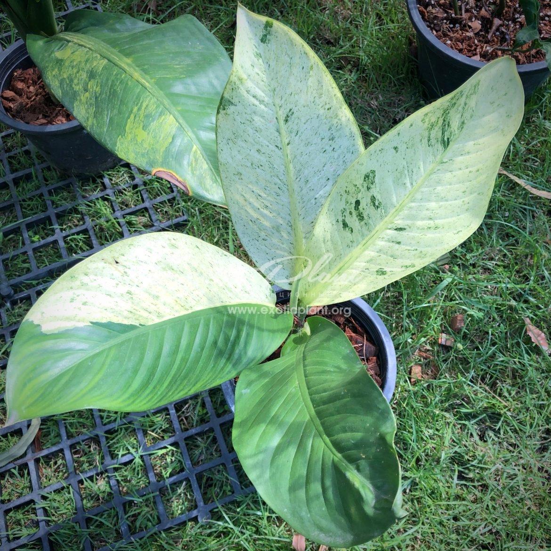 Dieffenbachia white variegated / диффенбахия Вайт вариегатед, белая вариегатность 30