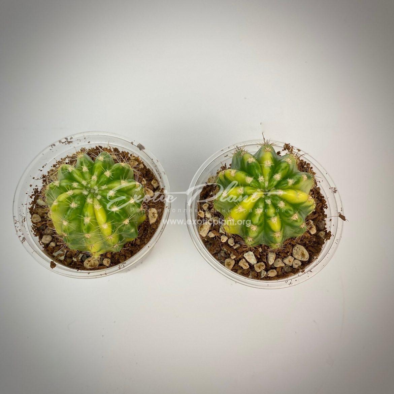 Echinopsis sp variegated