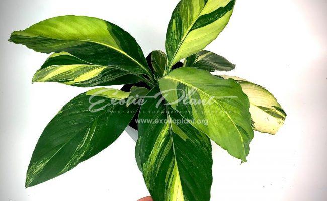 Spathiphyllum cochlearispathum Sunny Sails (yellow form)= Spatithyllum Sensation yellow variegated 120