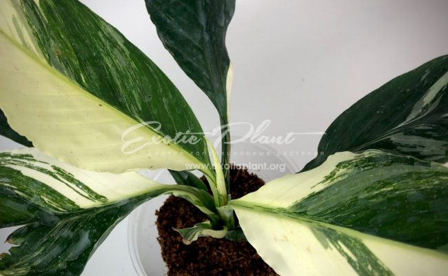 Spatithyllum cochlearispathum Sunny Sails (white form) = Spatithyllum Sensation white variegated 120
