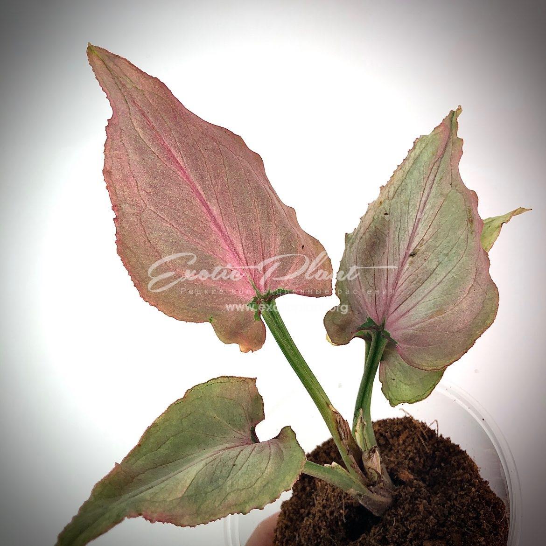 Syngonium Pink Heart (Orm Nak mutation) / Сингониум Пинк Хат (Орм Нак мутейшн) 50-75